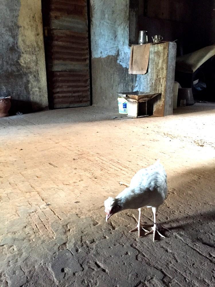 Huhn zuhause1